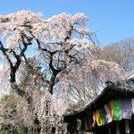 【京都のお花見おすすめ】しだれ桜と円山公園・夜桜の見頃は?