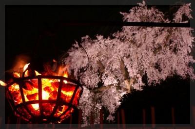 しだれ桜・かがり火