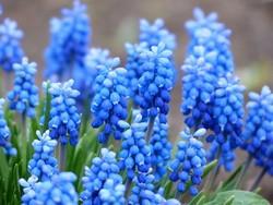 結婚式にサムシングブルーのムスカリの花
