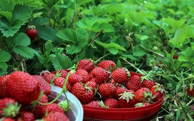 いちご・strawberry