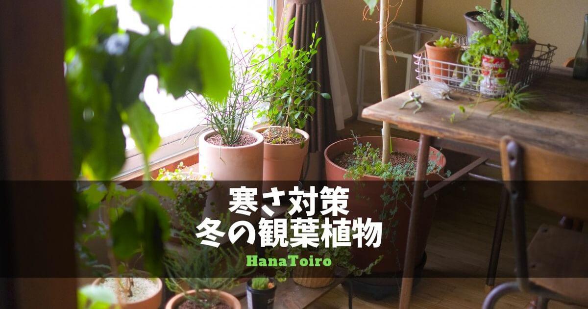 寒さ対策・冬の観葉植物
